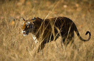 Alert wild Bengal tiger walking on short dry grass in Bandhavgarh national park copy
