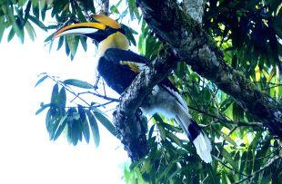 Horbill, Thettekad Bird Sanctuary copy