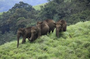 elephants_at_periyar_270 copy
