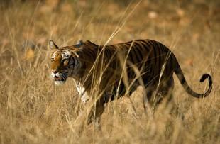 Alert wild Bengal tiger walking on short dry grass in Bandhavgarh national park copy