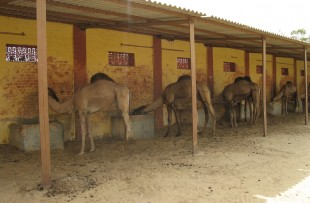Camel Bikaner copy