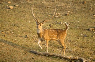 Chital or Cheetal, aka Spotted Deer, Axis axis, Pench National Park, Madhya Pradesh, India copy