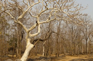 Ghost Tree in Pench National Park, Madhya Pradesh, India copy