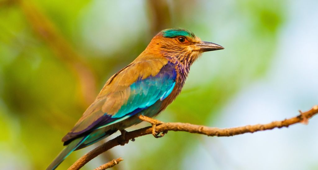 Indian roller in in the Bandhavgarh National Park in India. Bandhavgarh is located in Madhya Pradesh. copy