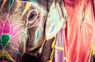 Jaipur | Elephant. India, Jaipur, state of Rajasthan copy