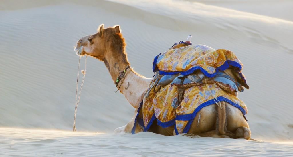 Jaisalmer | Group of camels on the Sam Sand Dune in Thar Desert, Jaisalmer, INDIA copy