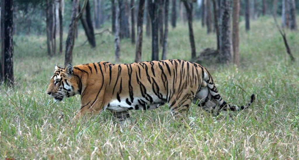 Pench National Park Tiger Resevre-Wildlife Safari-14_th