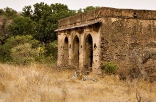 TIGER AND RUINS, RANTHAMBORE NATIONAL PARK copy
