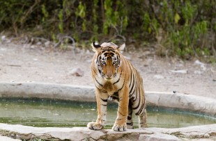 TIGER BY WATER IN RANTHAMBORE NATIONAL PARK copy