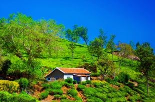 Teafield in Coonoor, India copy