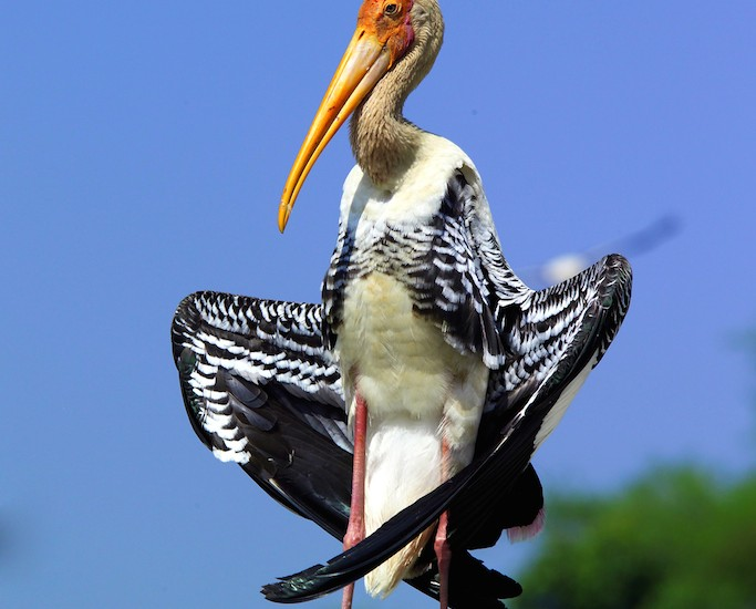The Painted Stork (Mycteria leucocephala) large wading bird copy