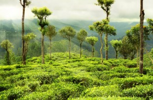 tea garden with trees copy