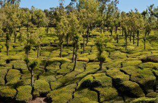 tea plantation in india copy