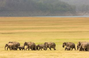 Elephant herd in the grassland copy