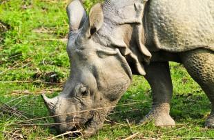 Rhino, Kaziranga  copy