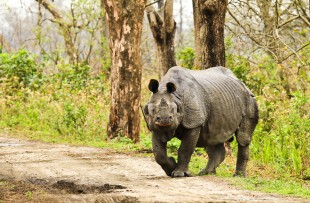 Rhinoceros in Kaziranga National Park copy